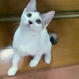 4ヶ月の白三毛ちゃん(仮名:リコッタ)