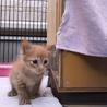 プクプク元気な茶トラの子猫ちゃんです