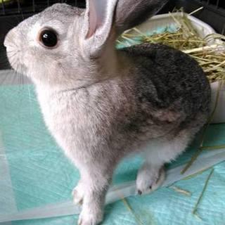 生後7か月、人懐っこいミニウサギです。