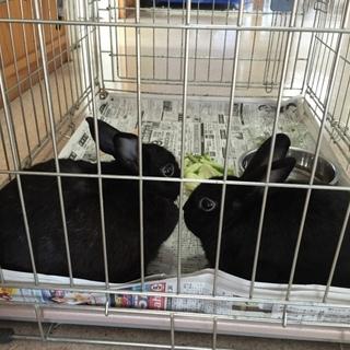 登米警察署に黒うさぎが2羽、保護されていました