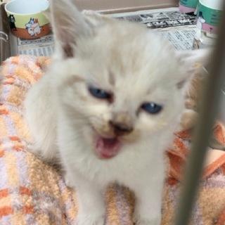 子猫3きょうだい (白ブチ)