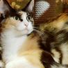 綺麗な三毛猫マギーちゃん