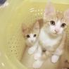 双子の子猫の里親さん探してます!
