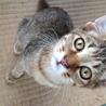 【至急】4ヶ月位のキジ猫