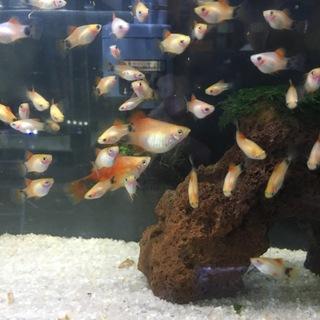 プラティの幼魚の里親募集