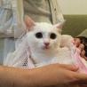 3〜4ヶ月仔猫・白猫