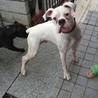 ボクサー犬、オス、11ヶ月(岡山)