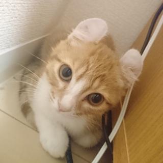 【急募】アメリカンカール子猫里親