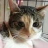 愛くるしい三毛猫と暮らす/推定2歳 サムネイル3