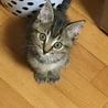 甘えん坊のキジトラ子猫の男の子です♫