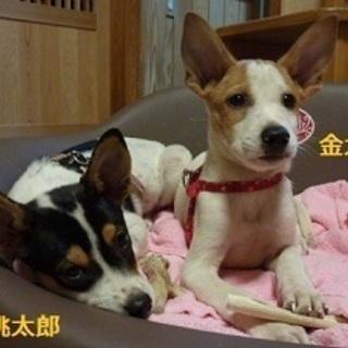 ワンプロ大好き、元気な子犬の 「金太郎」