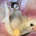 元気いっぱいサバ白子猫の白あんくん!