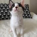 わんぱく坊主な白黒子猫の白玉くん!!