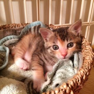 生後1ヶ月  キジ三毛♀  美猫!