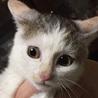 おしとやかな三毛猫ちゃん♀(生後約3ヶ月)
