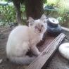 シャム風猫 ♀3か月( しろ) 里親さま募集中