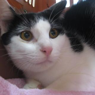 去勢済の穏やかな猫ちゃん☆生後8ヶ月位です♪