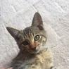 美しい虎豹柄の子猫 ベラちゃん