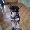 『リトルくん』 体重約3.5キロ ストーキング犬