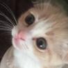 耳折れスコティッシュの子猫