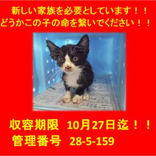 期限10月27日迄!可愛いハチワレの子猫☆