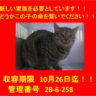 期限10月26日迄!お目目クリクリのキジ猫ちゃん☆