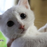オッドアイの白猫の男の子、くーちゃんです。