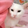 きれいな白猫☆みゆきちゃん 2才