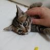生後1.5~2ヵ月甘えん坊の子猫(アキ)ちゃんです