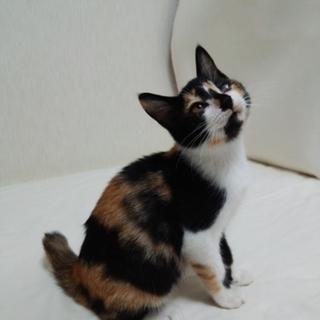 生後3.5ヵ月三毛猫の子猫(マリー)ちゃんです