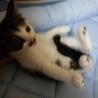 生後1ヶ月半 子猫 女の子 白ブチ