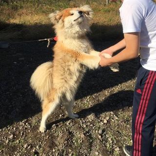 【一時保護中】わさお君似の秋田犬