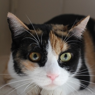 眼力がある三毛猫3~5歳