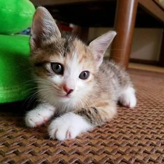 キュートすぎる、三毛猫「こんぶちゃん」