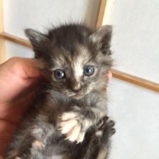 生後1,5月の可愛い仔猫