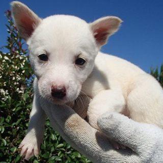 9月下旬生まれの薄茶の可愛い子犬たち