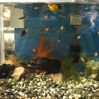 バルーンモーリーの幼魚お譲りします。