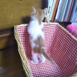 茶白の赤ちゃん猫
