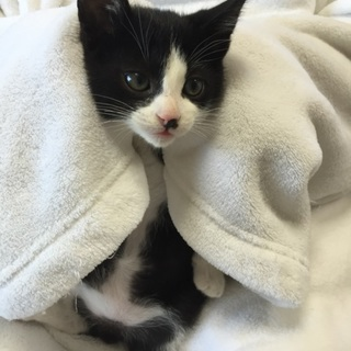2か月チビチビ3兄弟の黒シロ子猫、サブロー君♪