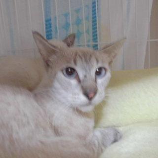 子猫と保護したペインママ、シャムMIX