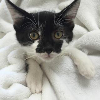 2か月の2匹姉弟、黒シロ子猫、ゾロ君♪