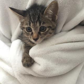2か月チビチビ6兄妹、キジトラ子猫、キオ君♪