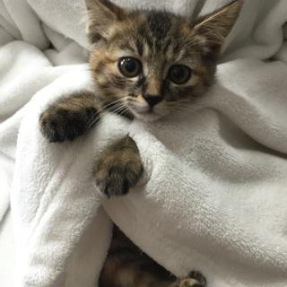 2か月チビチビ6兄妹、キジトラの子猫、ラトちゃん♪