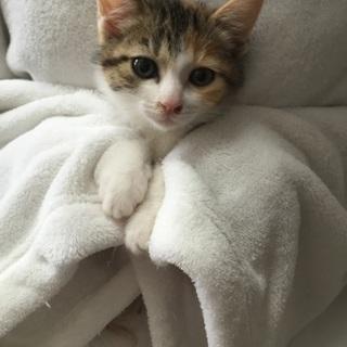 2か月チビチビ6兄妹のミケ子猫、ミケルちゃん♪
