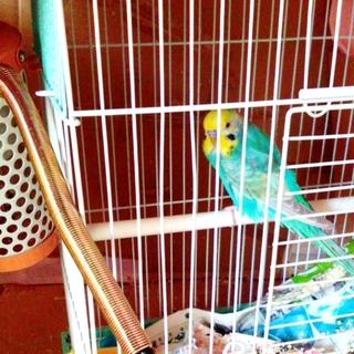 〈一旦締切〉セキセイ♂、人懐っこい若鳥です。