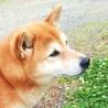 人懐こい柴犬キング♂6歳