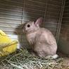 【ウサギ】ネザー♂シナモンくん7才 サムネイル7