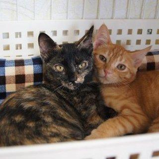 美猫姉妹ツンデレですが飼いやすい2匹!