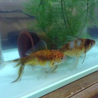 人懐っこい2匹の金魚です