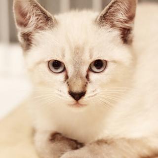 母乳で育てられ 元気な美猫3兄妹のスーちゃん
